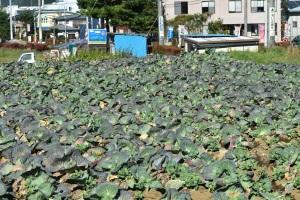 Cabbage farm near Kawaguchiko