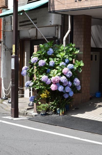 Ajisai - Yanaka