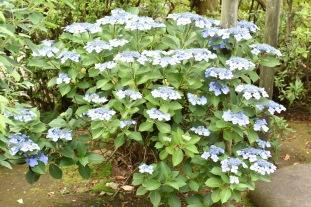 Ajisai bush - Yanaka