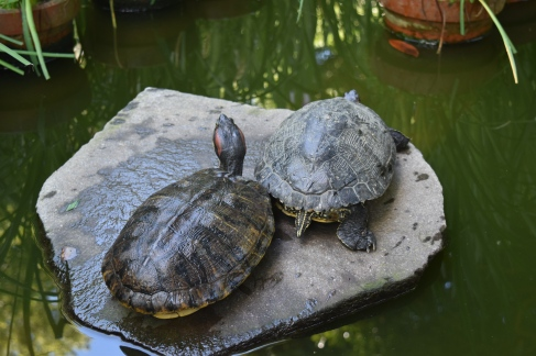 Turtles in the pond at Kuzuharaoka Jinja