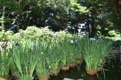 Irises in the pond at Kuzuharaoka Jinja